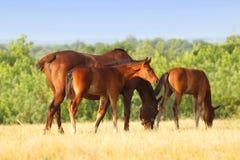 吃草在牧场地的马 库存照片
