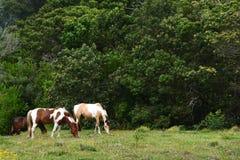 吃草在牧场地的马 免版税库存图片
