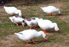 吃草在牧场地的鹅在水附近 免版税图库摄影
