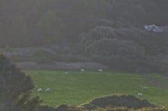 吃草在牧场地的绵羊群  库存图片
