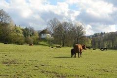 吃草在牧场地,捷克,欧洲的母牛和小牛 免版税库存照片
