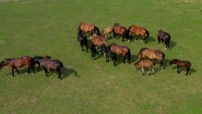 吃草在牧场地,绿色风景鸟瞰图的马与棕色马牧群的  股票录像