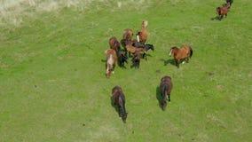 吃草在牧场地,绿色风景鸟瞰图的马与棕色马牧群的  股票视频
