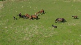 吃草在牧场地,绿色风景鸟瞰图的马与棕色马牧群的  影视素材