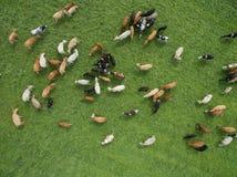 吃草在牧群的母牛鸟瞰图在一个绿色牧场地在夏天 免版税库存图片