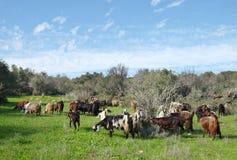 吃草在犹太的小山的山羊牧群  免版税库存图片