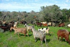 吃草在犹太的小山的山羊牧群  免版税库存照片