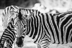 吃草在狂放的斑马 免版税库存图片