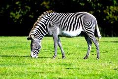 吃草在狂放的斑马 免版税库存照片