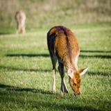 吃草在狂放的鹿 库存图片