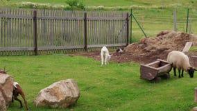 吃草在环境农场的群和牧群、幼小山羊和绵羊 股票录像