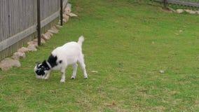 吃草在环境友好的农场的篱芭附近的幼小山羊,goatling 股票视频