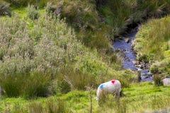 吃草在石标Glenshane的绵羊在北爱尔兰通过 库存照片