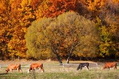 吃草在秋天农田牧场地的母牛 免版税库存图片