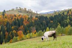 吃草在秋天山风景的母牛 库存图片