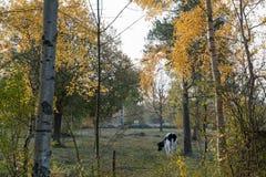 吃草在秋季的母牛上色了风景 免版税库存图片