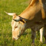 吃草在科罗拉多的公牛 图库摄影