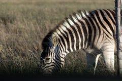 吃草在篱芭后的斑马 免版税库存照片