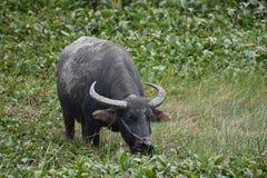 吃草在米领域的一头大灰色水牛在会安市在越南,亚洲 免版税库存照片