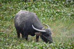 吃草在米领域的一头大灰色水牛在会安市在越南,亚洲 免版税库存图片