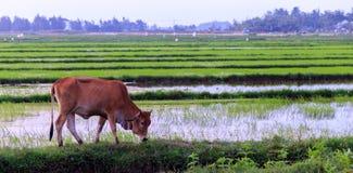吃草在米领域的母牛 免版税库存照片