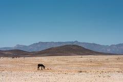 吃草在纳米比亚的浩大和落寞风景的一头唯一驴 免版税库存照片