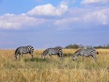 吃草在线的三匹野生斑马在马塞人玛拉草原 免版税库存图片