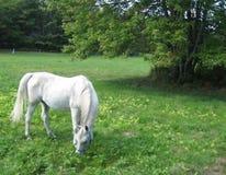 吃草在结构树白色附近的马 免版税库存图片