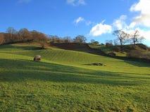 吃草在绵羊附近的ambleside 库存图片
