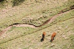 吃草在绿色山坡的马在春天在乔治亚山  图库摄影