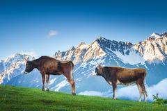 吃草在绿色山牧场地的两头棕色母牛 图库摄影