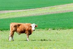 吃草在绿色春天领域的幼小红色卷曲公牛 摩拉维亚 图库摄影