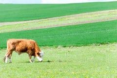 吃草在绿色春天领域的幼小红色卷曲公牛 摩拉维亚 免版税库存照片