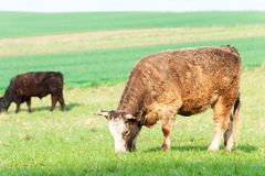 吃草在绿色春天领域的红色卷曲公牛 摩拉维亚 捷克语 图库摄影