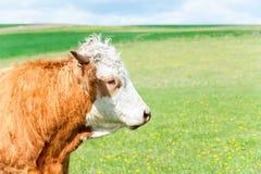 吃草在绿色春天领域的红色卷曲母牛画象  库存图片