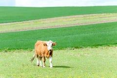 吃草在绿色春天领域的红色卷曲母牛 摩拉维亚 捷克语 免版税库存图片