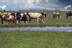 吃草在绿色牧场地的母牛牧群  免版税库存图片