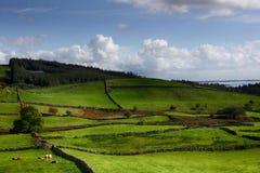 吃草在绿色牧场地,有石块墙的草甸, Louch Corrib, Connemara, Co的母牛 戈尔韦,爱尔兰,欧洲 免版税图库摄影