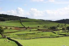 吃草在绿色牧场地,有石块墙的草甸, Louch Corrib, Connemara, Co的母牛 戈尔韦,爱尔兰,欧洲 免版税库存图片