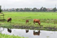 吃草在绿色米的三头棕色水母牛在会安市调遣在越南,亚洲 免版税库存图片