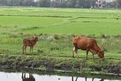 吃草在绿色米的两头棕色水母牛在会安市调遣在越南,亚洲 库存图片