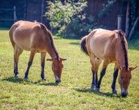 吃草在绿色茂盛的牧场的两三匹马在乡下 库存照片