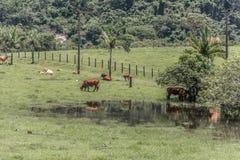 吃草在绿色草甸的母牛 免版税库存图片