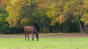 吃草在绿色草甸的马 股票视频