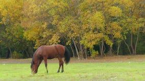 吃草在绿色草甸的马 股票录像
