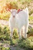 吃草在绿色象草的草坪的好奇山羊 7个动物动画片农厂例证系列 去 免版税库存照片