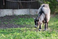 吃草在绿色象草的草坪的好奇愉快的山羊 一只滑稽的山羊的画象 7个动物动画片农厂例证系列 免版税库存图片