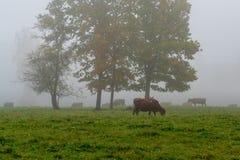 吃草在绿色领域的母牛 免版税库存图片