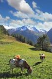 吃草在绿色高山草甸的三头肥胖母牛 免版税库存照片