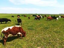 吃草在绿草的牛 免版税库存图片